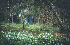 Grandad's tool shed (artvaleri) Tags: ireland woodland turquoise forestfloor oxalis woodsorrel