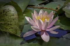 White Water-lily (Nymphaea alba) (Greatest Paka Photography) Tags: sanfrancisco goldengatepark water garden botanical pond waterlily lily arboretum stamen strybing strybingarboretum aquatic lilypond nymphaeaalba europeanwhitewaterlily