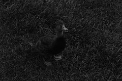 UV Duck