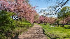 Central Park (Robert Wash) Tags: nyc newyorkcity ny newyork centralpark manhattan cherryblossoms kwanzan jacquelinekennedyonassisreservoir