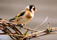 A3-600DPI-9025 (Paul Wynn Photography) Tags: birds scotland tits gardenbirds scottishbirds sexybirds