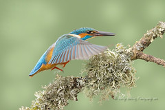 poetry in motion 2 (pixellesley) Tags: motion bird wow flying wings branch action flight kingfisher perch colourful birdwatching alcedoatthis lesleygooding