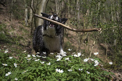 Catch (Keartona) Tags: england dog spring woods anemone catching poppy stick bordercollie marple woodanemones