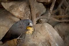 (aaronarago29) Tags: bird photography dubai uae