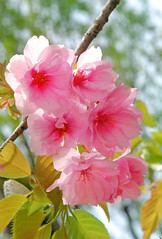 '' Sakura 'Beni-yutaka' (qooh88) Tags: pink double  cherryblossom sakura cherrytree prunus cerasus   rosaceae smalltree  diciduous