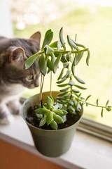 succulent (jojoannabanana) Tags: green cat succulent bokeh tabby windowsill 3662016
