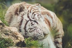 _XT13819-2 (Kazuky Akayashi) Tags: wildlife fujifilm whitetiger wildlifephotography xt1 parcdesflins fujixt1 fujinonxf100400f4556rlmoiswr