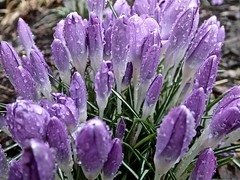 Crocuses (David_Burn) Tags: desktop morning flowers winter plants plant cold flower tree green art nature wet water contrast forest living leaf spring intense bush warm colours purple natural earth violet crocus screen pearls dew colourful leafs crocuses