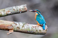 Kingfisher (Explored) (Esox2402) Tags: fish wales canon branch feeding wildlife sigma kingfisher 150600mm 7dmkii