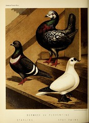 n427_w1150 (BioDivLibrary) Tags: pigeons fieldmuseumofnaturalhistorylibrary bhl:page=49799295 dc:identifier=httpbiodiversitylibraryorgpage49799295