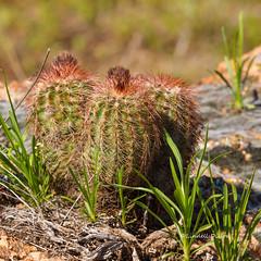 Wichita pincushion (Lindell Dillon) Tags: cactus oklahoma v wichitamountains echinocereus reichenbachii wichitapincushion baileyslace lindelldillon baileyii