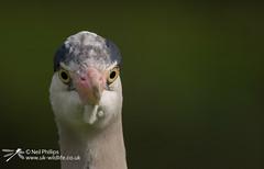 Grey Heron-3 (Neil Phillips) Tags: bird heron grey aves ardea longneck ardeacinerea longlegs ardeidae greyheron pelecaniformes cinerea neoaves