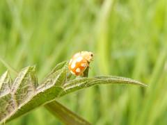 Tienvleklieveheersbeestje  (Calvia decemguttata) (Frank Berbers) Tags: macro netherlands insect nederland ladybird ladybug paysbas kfer niederlande marienkfer kever coleoptera coccinellidae zuidlimburg lieveheersbeestje calviadecemguttata tienvleklieveheersbeestje calvia10guttata lichtmarienkfer zehnfleckenmarienkfer nikoncoolpixs9500 coccinelle10pointsblancs