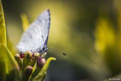 En tte  tte (Naska Photographie) Tags: macro fleur photo photographie papillon printemps proxy matin macrophoto photographe macrophotographie azur proxyphoto naska