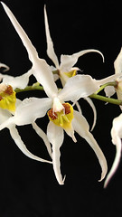 Oncidium ( Odontoglossum) cirrhosum par Corinne (cattlaelia) Tags: orchid oncidium odontoglossum orchide cattlaelia