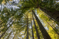 Redwoods (paulabarrickman) Tags: california ca trees landscape san redwood redwoods geronimo
