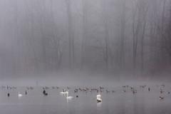 Morning fog (snooker2009) Tags: lake bird nature water fog river geese pond wildlife foggy ducks swans waerfowl