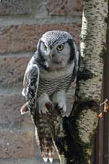Northern Hawk Owl (Truus & Zoo) Tags: animals germany deutschland zoo cologne kln tiergarten duitsland dierentuin keulen northernhawkowl surniaulula klnerzoo sperweruil leastconcern sperbereule