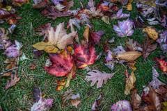 (oakiedoakie) Tags: red orange color fall grass leaves outside maple seasons scatter