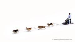 Sled dog race (My Planet Experience) Tags: winter dog snow animal alaska race husky samoyed ak running racing malamute yukon greenland siberian musher mushing sled sleigh eskimo pulk sledge snowdog yt pulka groenland samoyede wwwmyplanetexperiencecom myplanetexperience