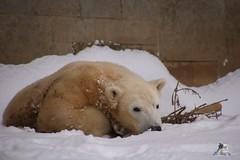 Eisbr Fiete im Zoo Rostock 23.01.2016  03 (Fruehlingsstern) Tags: vienna zoo polarbear vilma eisbr erdmnnchen fiete zoorostock geparden baumknguru canoneos750 tamron16300