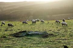 Balhomish Farm (eric robb niven) Tags: winter walking scotland sheep farm perthshire farmland dunkeld winterwatch balhomish ericrobbniven