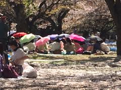 cherry snow (mistdog) Tags: park japan cherry tokyo women picnic blossom yoyogi umbrellas hanami dropbox ifttt glazeapp