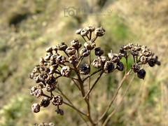 Pflanzenknospen (magicmarcyde) Tags: pflanze wiese braun ste stengel knospen vogelbeere