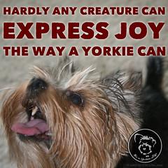 I love being with you! (itsayorkielife) Tags: yorkie quote yorkshireterrier yorkiememe