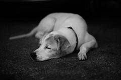 Let Sleeping Dogs Lie (mista rim) Tags: leica m mixedbreed rescuedog petdog m240 summilux50mm