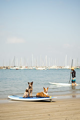 SUP Dogs (evilDink) Tags: dog water animal edited events australia melbourne victoria fujifilm sup stkilda xt1 mirrorless niksoftware standuppaddle viveza colorefexpro4 xf60mmf24macro nikcollectionbygoogle supvic standuppaddlevictoria 2016portphillipcup