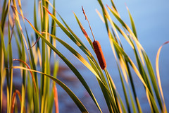 The Cattail at Golden Hour