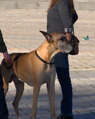 Distracted (swong95765) Tags: dog cute butterfly ears calm greatdane distraction