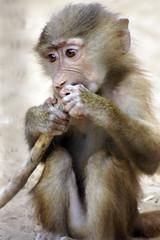 _DSC9469 (alfaluis) Tags: animal zoo pato jardim macaco tigre urso zoologico