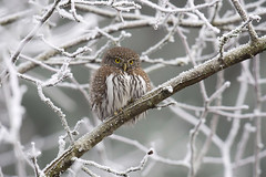 Northern Pygmy-Owl (Gregory Lis) Tags: northernpygmyowl glaucidiumgnoma coquitlam britishcolumbia gorylis gregorylis nikond7200 winter ice snow