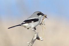 Loggerhead Shrike (bmse) Tags: canon san l f56 lizzard loggerhead jacinto salah shrike 400mm wingsinmotion 7d2 bmse baazizi
