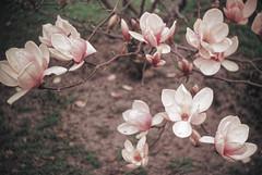 Magnolia in its Glory (joeldinda) Tags: flowers tree home 1974 may moms wellington magnolia kalamazoo unknowncamera 3008 july1974 wellingtonroad