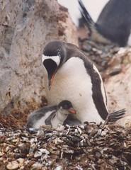 1998_01_13_37 (petermit2) Tags: penguin gentoo antarctica chick antarctic paradisebay gentoopenguin antarcticpeninsula paradiseharbour grahamland