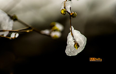 Winter2 (Rajasekar Setty) Tags: winter snow plant storm flower tree frozen blossom bokeh
