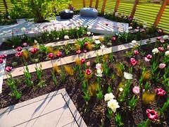 weiß-rosa-violette Tulpen auf Kies (Sophia-Fatima) Tags: garden deutschland tulips tulip brandenburg garten tulpen tulpe packhof buga2015 gartendisign