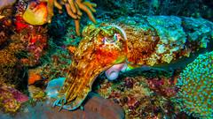 Sepia (Tintenfisch) (sylviafurrer) Tags: uw sepia underwater cuttlefish tintenfisch unterwasser