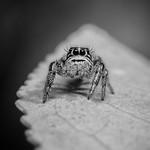 Salticidae B&W thumbnail