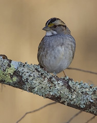 White-throated Sparrow (AllHarts) Tags: whitethroatedsparrow spac hollyspringsms naturesspirit naturescarousel thesunshinegroup