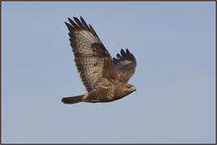 Buzzard (image 1 of 2) (Full Moon Images) Tags: bird nature flying wildlife flight lakes reserve prey buzzard fen cambridgeshire birdofprey drayton rspb
