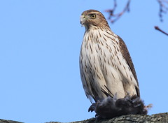 Cooper's Hawk in my yard [Explored 18] (Tombo Pixels) Tags: newjersey hawk nj coopers coopershawk explored twb1 local160037