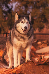 Timber (Cruzin Canines Photography) Tags: trees sunset portrait dog pet pets cute dogs nature smile animal animals canon fur outside mammal outdoors evening daylight husky warm sundown timber handsome naturallight canine domestic siberianhusky bakersfield goldenhour califorina alaskanhusky hartpark domesticanimal 5ds canon5ds eos5ds canoneos5ds