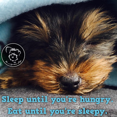Live life full out (itsayorkielife) Tags: yorkie quote yorkshireterrier yorkiememe