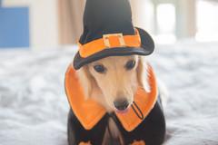 IMG_3260 (yukichinoko) Tags: dog halloween dachshund 犬 kinako ハロウィン ダックスフント ダックスフンド きなこ
