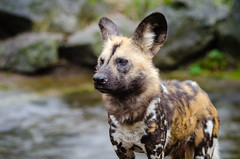 African wild dog (Mathias Appel) Tags: africa autumn wild portrait dog fall leaves animal animals fur zoo tiere african painted herbst hunting ears canine hund afrika hunter tierpark bltter fell snout tier ohren pelz lycaon schnauze jger pictus pelzig afrikanischer wildhund raubtier predatur