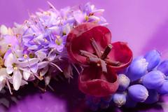 All Shades Of Purple (hoykimberley) Tags: flowers flower macro beautiful closeup pretty purple beaty nikond3200
